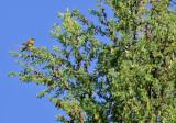 Cape May Warbler_1963.jpg