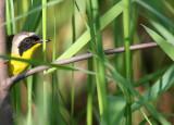 Common Yellowthroat_2552.jpg