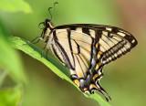 Canadian Tiger Swallowtail_2604.jpg