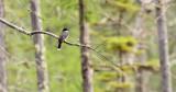 Eastern Kingbird_2772.jpg