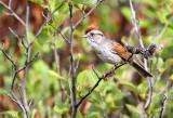 Swamp Sparrow_2753.jpg