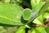 Canadian Tiger Swallowtail caterpillar_619.jpg