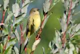 Orange-crowned Warbler_0242.jpg