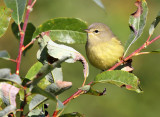 Orange-crowned Warbler_0260.jpg
