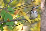 Harris's Sparrow_1077.jpg