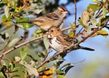 Harris's & White-crowned Sparrows_1193.jpg