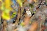 American Tree Sparrow_2391.jpg