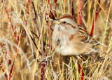 American Tree Sparrow_2089.jpg