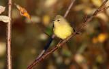 Orange-crowned Warbler_1843.jpg