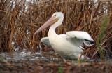Amer. White Pelican_2546.jpg