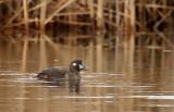 Harlequin Duck_3367.jpg