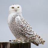 Snowy Owl_3324.jpg