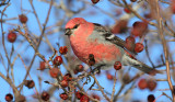 Pine Grosbeak_3905.jpg