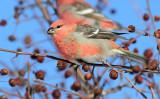 Pine Grosbeak_4036.jpg