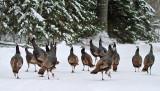 Wild Turkey_5410.jpg