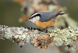Red-breasted Nuthatch_6369.jpg