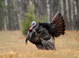 Wild Turkey_6613.jpg