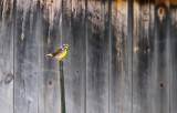 Eastern Meadowlark_7258.jpg