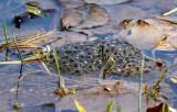 Wood Frog Eggs_7600.jpg