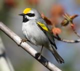 Golden-winged Warbler_8207.jpg