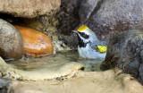 Golden-winged Warbler_2882.jpg