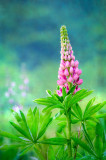 Pink Lupin