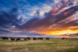 Bisons at sunset
