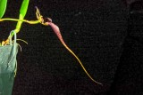 Bulbophyllum Fascination 'Chianti'