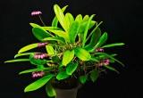 Bulbophyllum puchellum viatropurpureum 'Polopei'