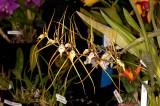 Brassia Ralph Wiedeman