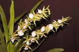 Angrecium eburneum