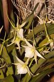Angrecium veitchii