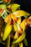 Bulbophyllum graveolens 'Mont Millais' FCC/AOS