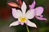 Iwanagara 'Apple Blossom Fantastic'