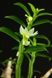 Den. oligophylium