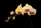 Dtps. Sin Yuan Golden Beauty