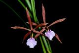 Encyclia bractescans