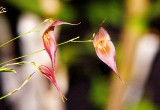 Lepanthes dalessandroii