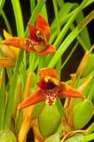Maxillaria tenufolia