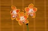 Phal. Golden Butterfly (lindenii x celebensis)