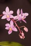 Phal. equestis var. roseae