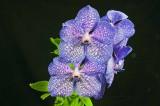 Vanda Sansai Blue