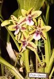 Zygonisia Quorn