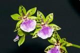 Zygoneria Adelarde 'Meadows'