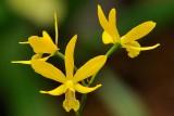Epi. Kyoguchi 'M. Sanno' mutation x L. Gold Star 'SVO' HCC/AOS