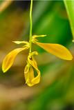 Cirrhopetalum refractum