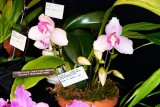 Lycaste Sunray 'Sue's Pride' AM/AOS (Skinneri x Shaolhaven '389')