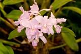 Gur. Skinneri ver. coerulescens 'Orchidglade'