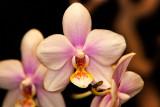 Phal. Joy Spring Venus x schilleriana
