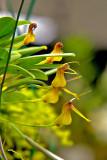 Masd. Ventricularia